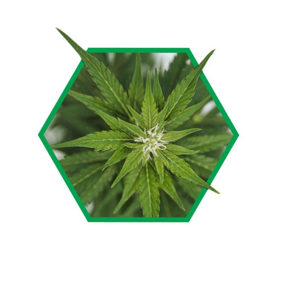 Image showing Charlotte's Angel cannabis plant at peak flowering time