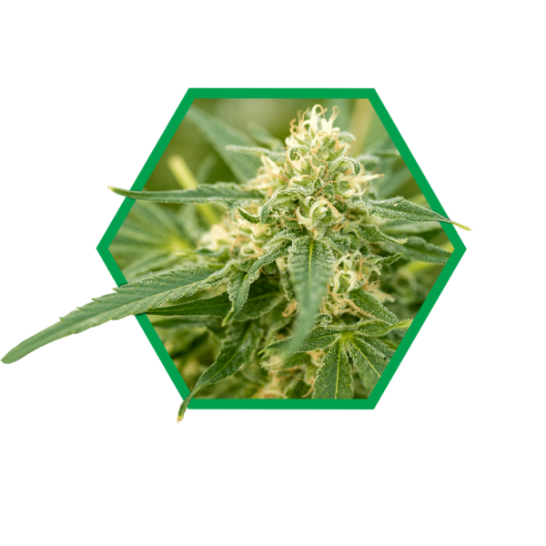 Image showing the strain Glueberry at peak flowering time