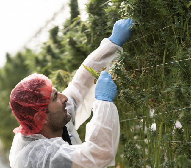 Image of employee deleafing cannabis plants